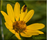 Unidentified Insect On Daisy