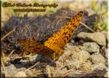 A Lesser Fritillaries Butterfly