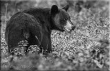 The Black Bear Looking Back As If To Say Enough