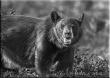 The Black Bear Looking Me In The Eye