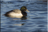 Male Scaup