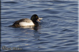 Male Scaup With A Meal