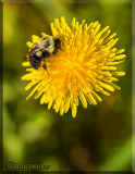A Honey Bee On A Dandelion
