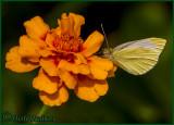 A Sulphur Butterfly