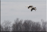 The Snow Geese Gallery