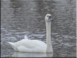 Tundra Swan Looking At me
