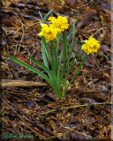 Spring Daffodils ( Large - cupped Narciss)
