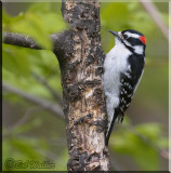 The Downy Woodpecker (Picoides pubescens) Gallery