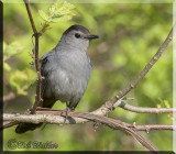 The Gray Catbird