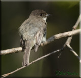 A Little Sun On The Back Of The Eastern Phoebe