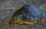 Big Old Yellow Bellied Turtle
