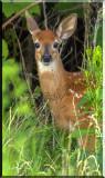 White-tailed Deer (odocoileus virginianus) Gallery