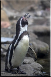Penguin On Display At The Rosamond Gifford Zoo
