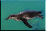 The Penguin Takes A Swim