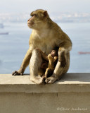 Barbary Macaques Mother and Child