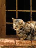 Pienza Cat
