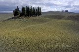 Group of Cypress Trees in Val d'Orcia