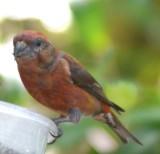yard_bird_red_crossbill