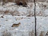 Coyote captured on Big Lake Webcam Nov 5