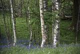 Birches &  Bluebells, Rydal Path
