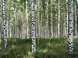 Birches v3