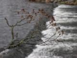 Tree on Weir