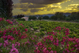 Flowers at sunset-Grimaud Castle