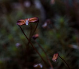 Moss fruiting bodies. 3mm in size. CZ2A1412.jpg