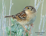 Sparrow, Grasshopper (May 18, 2013)