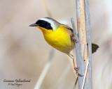 Yellowthroat, Common (May 27, 2013)