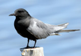Tern, Black (June 2,  2013)