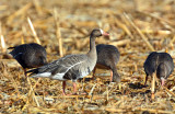 Geese, White-fronted (Specklebellys)
