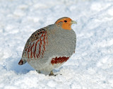 Gray Partridge & Sharp-tailed Grouse