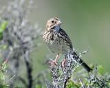 Sparrow, Vesper (June 10, 2014)