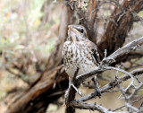 AI Fledglings-Loggerhead Shrike & Northern Mockingbird