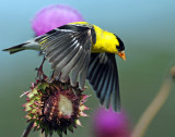 Goldfinch, American (June 29, 2014)