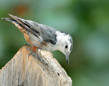 Nuthatch, White-breasted (Aug. 9, 2014)