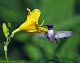 Hummingbird, Black-chinned (Aug. 21, 2014)