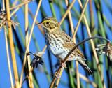 Sparrow, Savannah