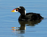 Scoter, Surf (Male)