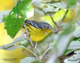 Warbler, Magnolia