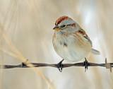 Sparrow, American tree (12-29- 2914)