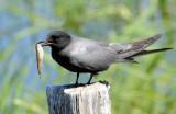 Terns, Black (June 13, 2015)