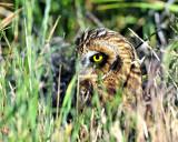 Owls, Short-eared (June 26, 2015)