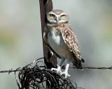 Owls. Burrowing (June 26, 2015)