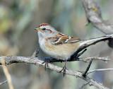 Sparrow, American tree (Dec 12, 2015)
