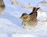 Sparrows, American tree  & Savannah