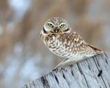 Owl, Burrowing (Feb. 5, 2016)