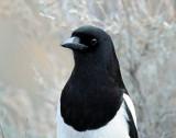 Magpie, Black-billed