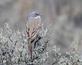 Sparrow, Sagebrush (3-19-2016)